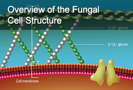 Overview of the Fungal Cell Structure